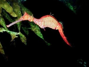 A graceful sea dragon similar to the one Eva and Saul see while freediving
